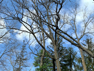 Big ash trees falling into other ash trees!
